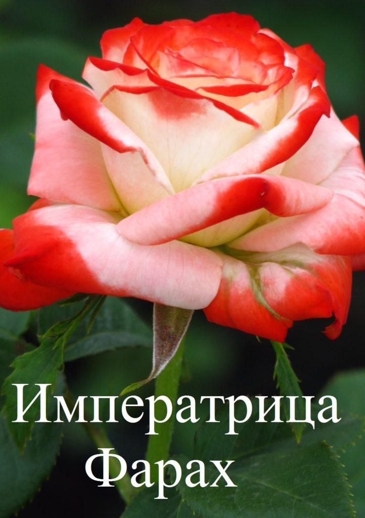 Сорта роз: роза Императрица Фарах