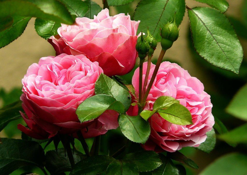 Как увеличить урожайность роз