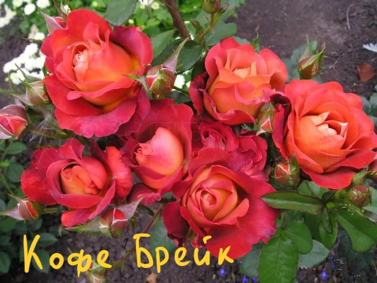 Кофе-брейк роза