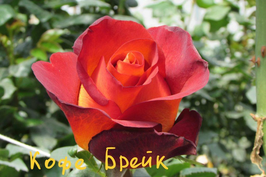Сорта роз: роза Кофе-Брейк