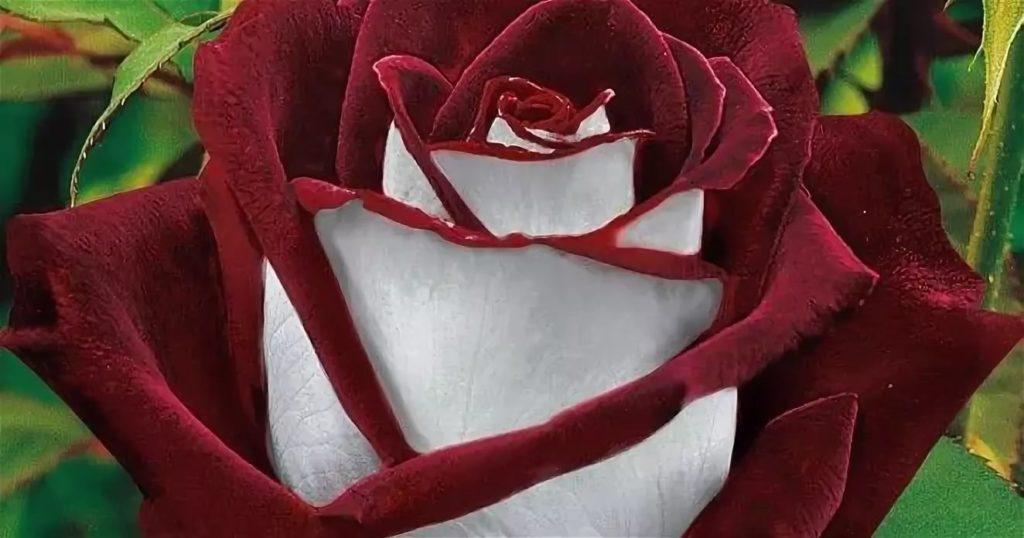 Сорта роз: роза Двухцветная Осирия