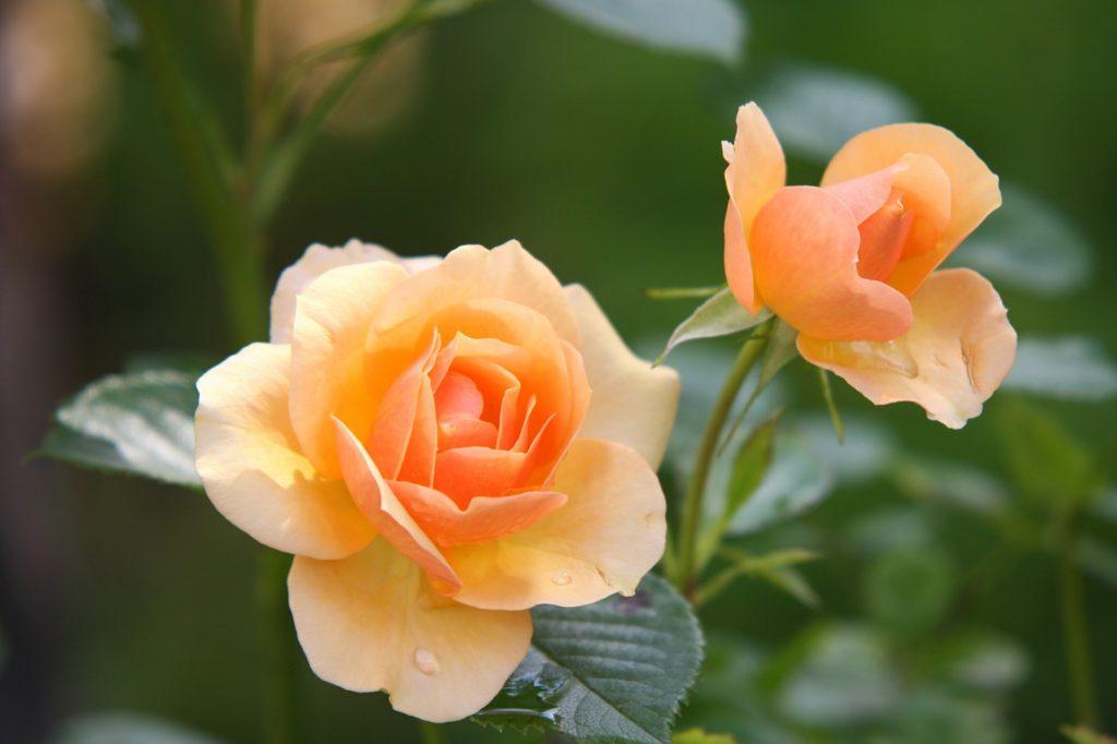 Роза не цветет. Причины