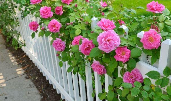 Какие бывают в мире шток-розы