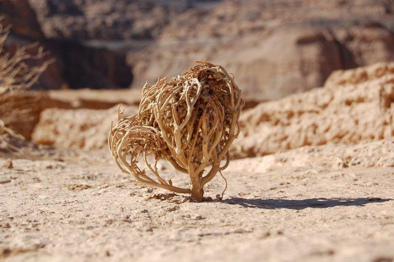 Необычное растение: иерихонская роза