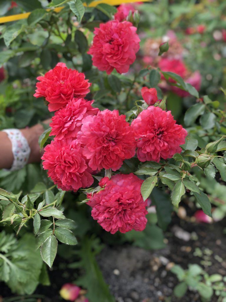 Сорта роз: роза Розариум Ютерсен