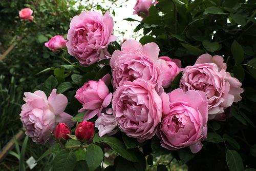 Как вырастить английскую розу