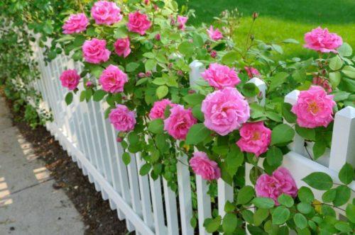 Самый дешевый способ размножения роз на садовом участке