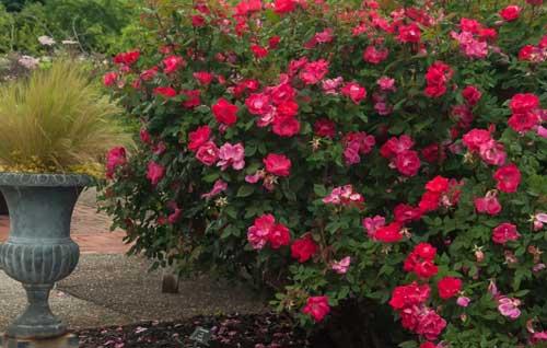 Правильная посадка кустовых роз в саду