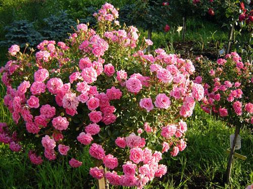 Низкорослые чайные розы