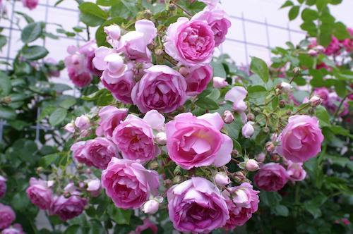 Как вызвать обильное цветение плетистой розы