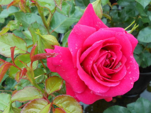 Сорта роз — Роза Авила Палас (Avila Palace)