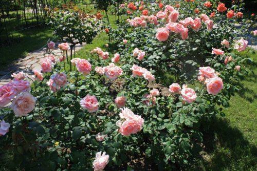 Посадка и уход за чайно-гибридными розами