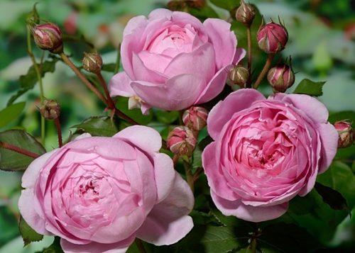 Сорта роз: Роза Алан Титчмарш