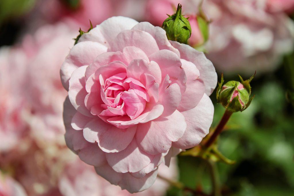 Что делать если роза стала шиповником